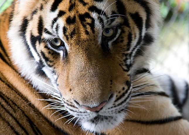 Chiang Mai, Tiger
