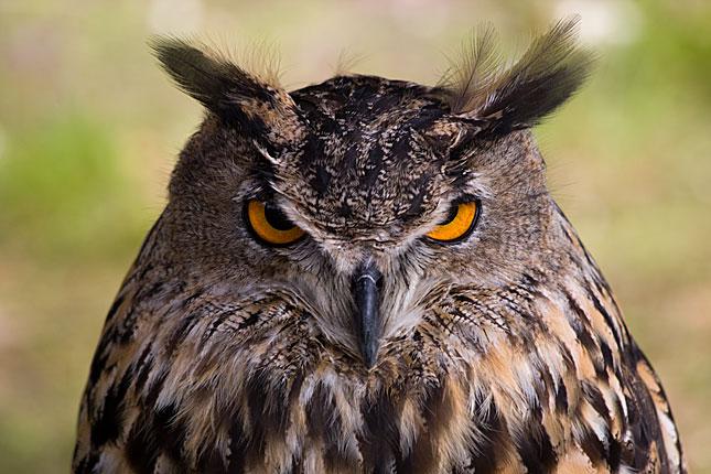 Lage Vuursche, Owl