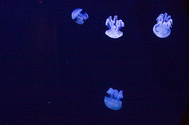 Dubai, Jellyfish