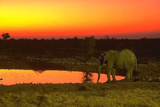 Okaukeujo, African Elephant