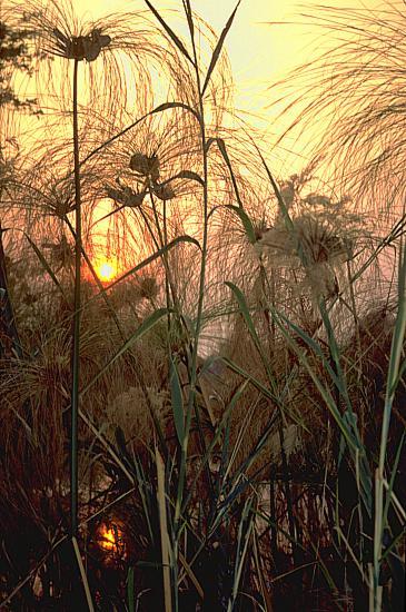 Okavango, Papyrus