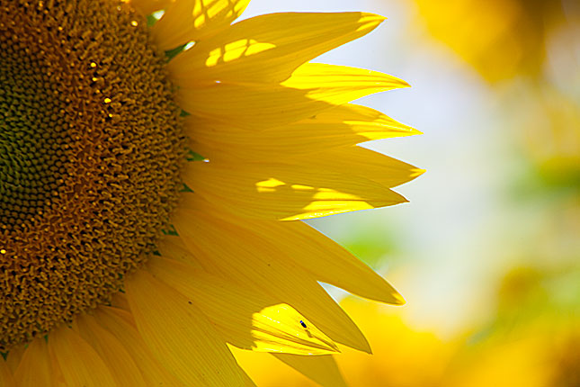 Monpazier, Sunflower