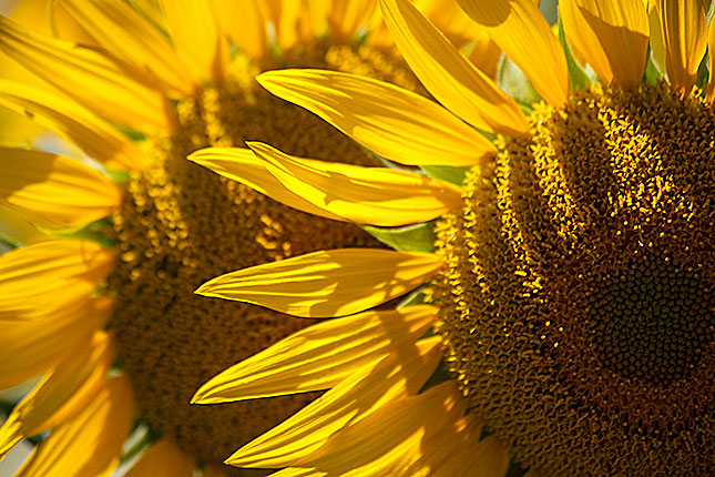 Monpazier, Sunflowers