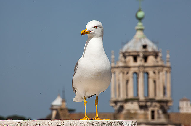 Rome, Seagull 1