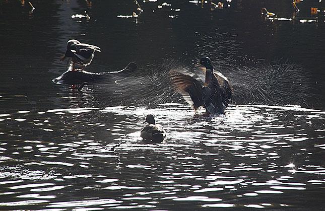 Baarn, Groeneveld Ducks