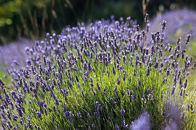 Gorges du Verdon, Lavender 2