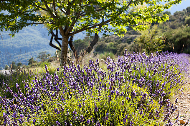 Gorges du Verdon, Lavender 1