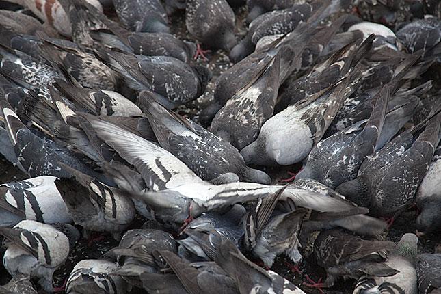 Amsterdam, Pigeons