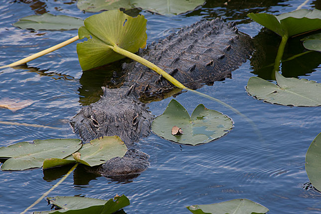 Everglades, Alligator 3