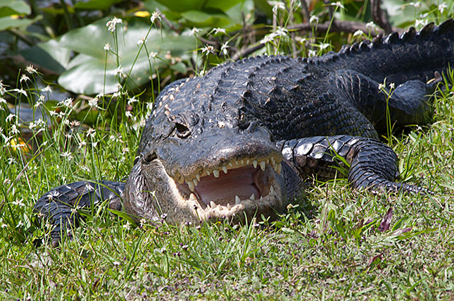 Everglades, Alligator 4