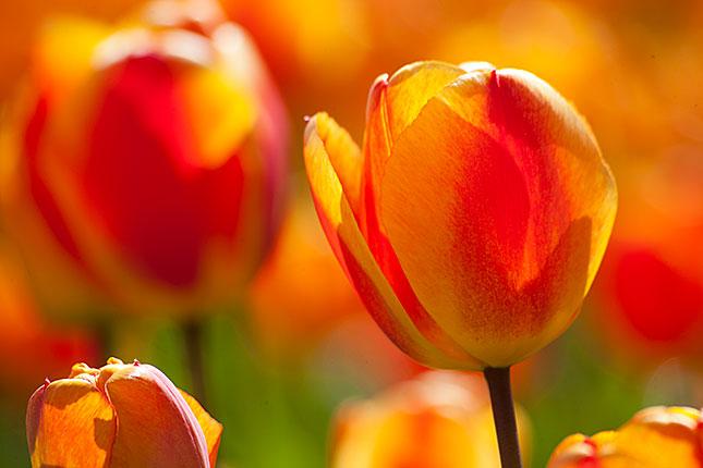 Noordwijkerhout, Tulips 2