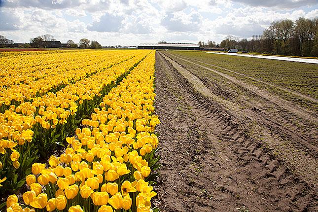 Noordwijkerhout, Tulips 3