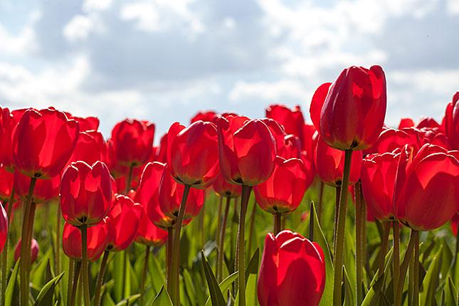 Noordwijkerhout, Tulips 1