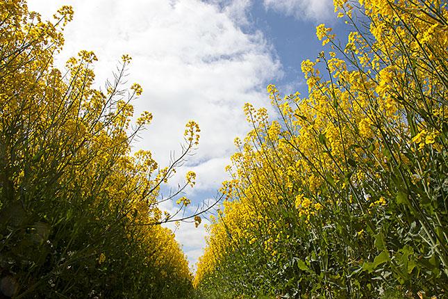 Cloppenburg, Fields of Yellow