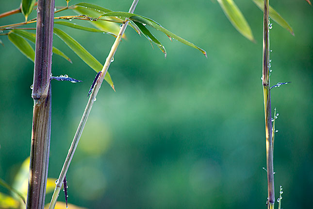 Soest, Bamboo Dew 2