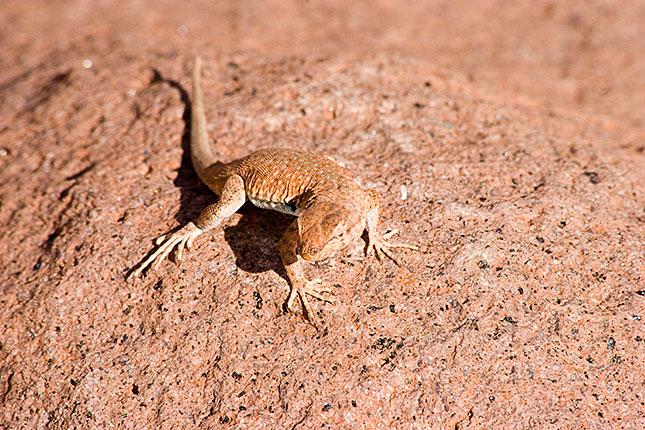 Capitol Reef, Lizard