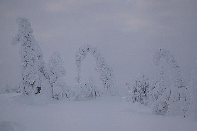 Ruuhitunturi, Snow Trees