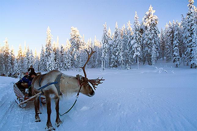 Salla, Reindeer 1