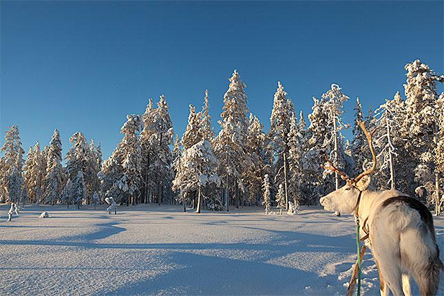 Salla, Reindeer 3