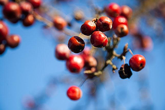 Lamberhurst, Berries