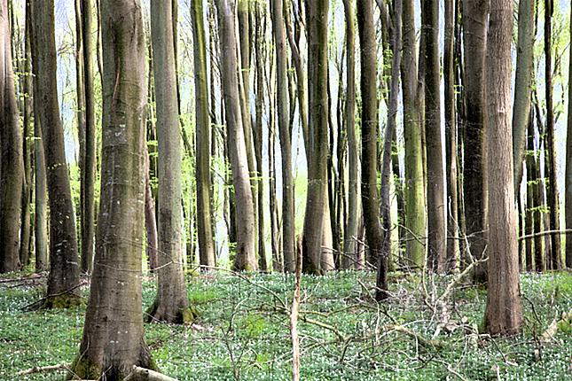 Aarhus, Moesgaard Beech Forest 2