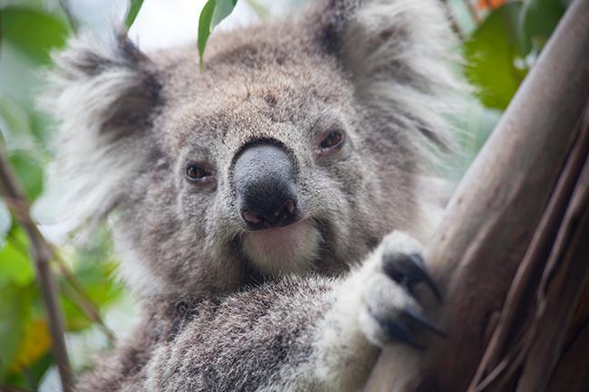 Kennett River, Koala